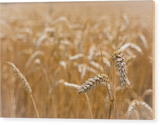Golden Wheat. Wood Print