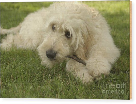 Goldendoodle Pup With Stick Wood Print