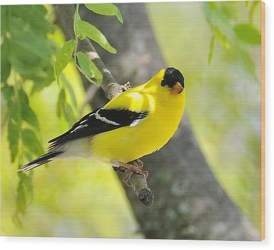 Goldfinch 299 Wood Print