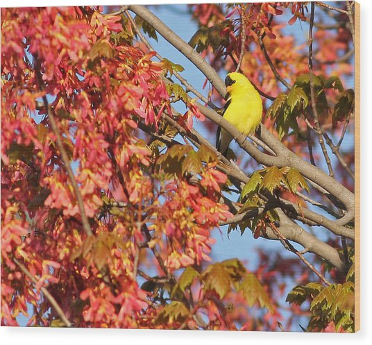 Goldfinch In Spring Maple Tree Wood Print