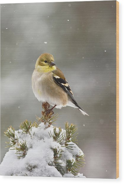 Goldfinch In The Snow Wood Print