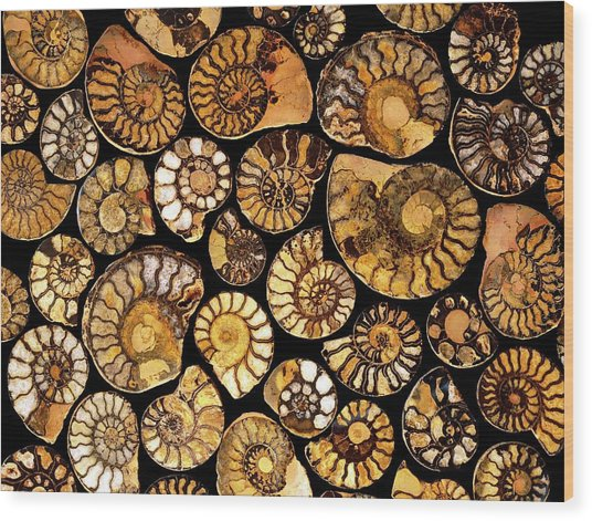 Goniatite Fossils Wood Print by Vaughan Fleming/science Photo Library