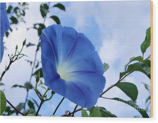 Good Morning Glory Wood Print