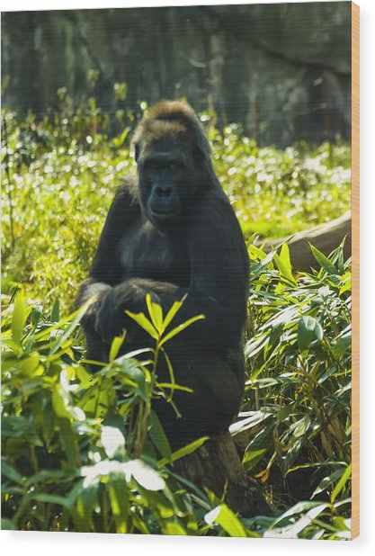 Gorilla Sitting On A Stump Wood Print