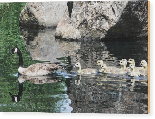 Goslings Reflection Wood Print