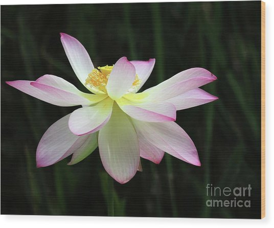 Graceful Lotus Wood Print