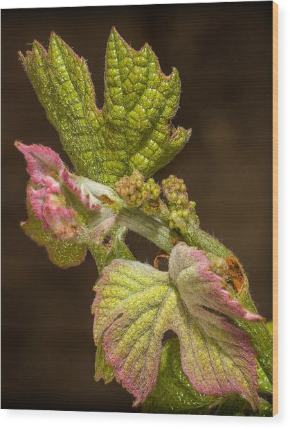 Grape Bud Break Wood Print