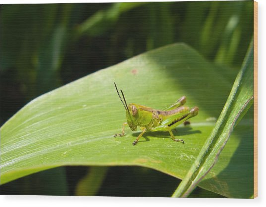 Grasshopper On Corn Leaf   Wood Print