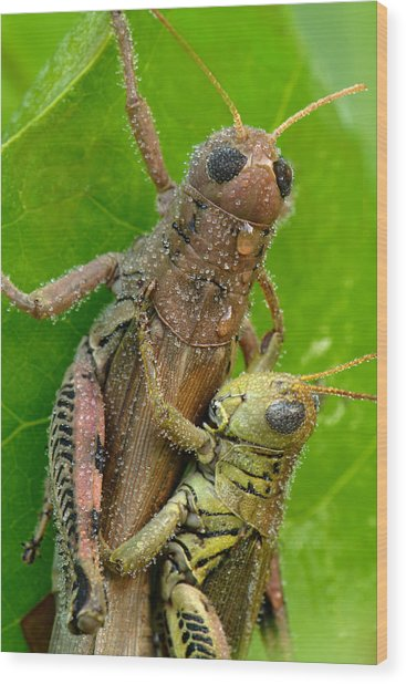 Wood Print featuring the photograph Grasshoppers Mating With Dew by Daniel Reed