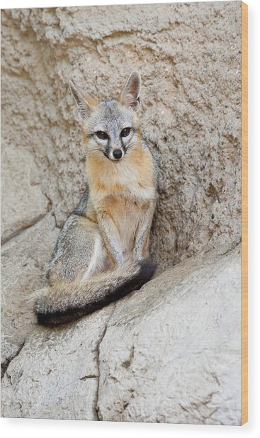 Gray Fox (urocyon Cinereoargenteus Wood Print by Larry Ditto