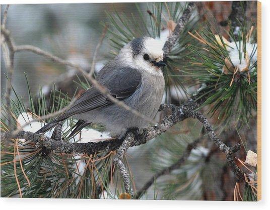 Gray Jay On A Snowy Pine Wood Print