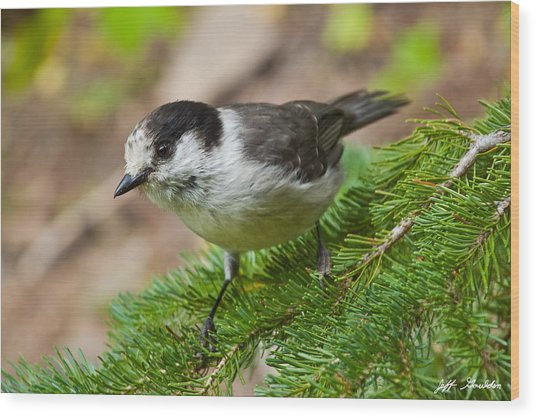 Gray Jay On Fir Tree Wood Print