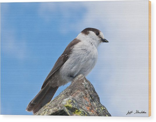 Gray Jay With Blue Sky Background Wood Print