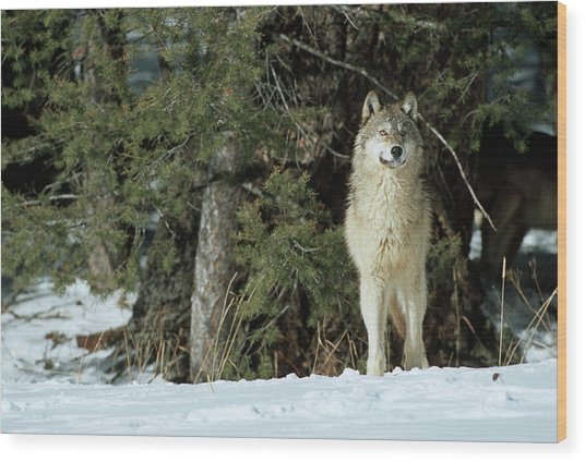 Gray Wolf (canis Lupis Wood Print