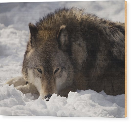 Gray Wolf In Snow Wood Print