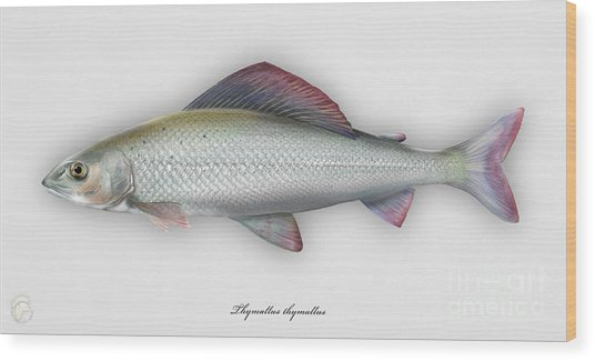 Grayling - Thymallus Thymallus - Ombre Commun - Harjus - Flyfishing - Trout Waters - Trout Creek Wood Print