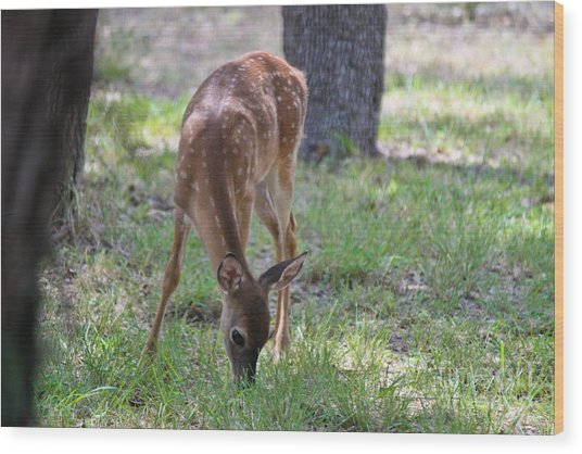 Grazing Fawn Wood Print