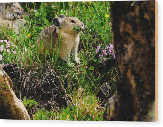Grazing Pika Wood Print