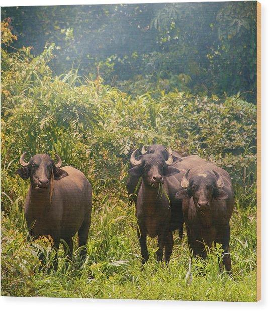 Grazing Water Buffaloes Wood Print