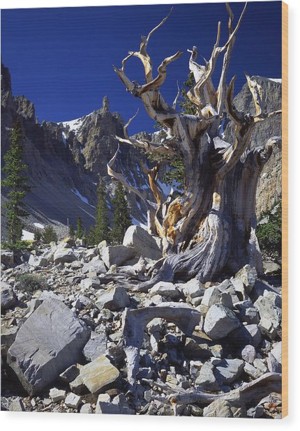 Great Basin Bristlecone Wood Print