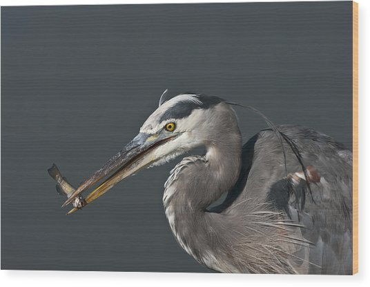 Great Blue Heron - 7345 Wood Print