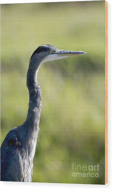 Great Blue Heron Backlit Wood Print
