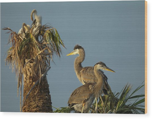 Great Blue Heron Chick In Nest, Ardea Wood Print