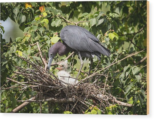 Great Blue Heron Chicks In Nest Wood Print