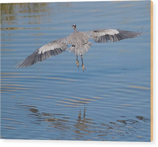 Great Blue Heron Flying Away Wood Print