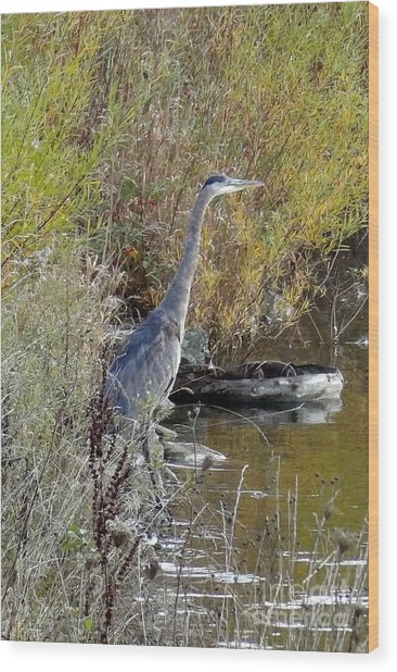 Great Blue Heron - Juvenile Wood Print