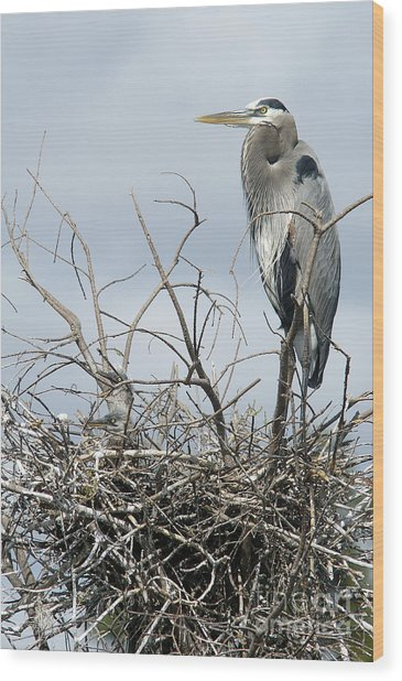 Great Blue Heron Nest With New Chicks Wood Print