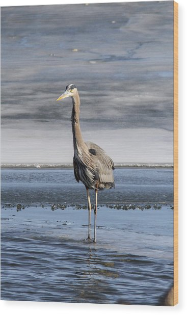 Great Blue Heron Portrait Wood Print by Jill Bell