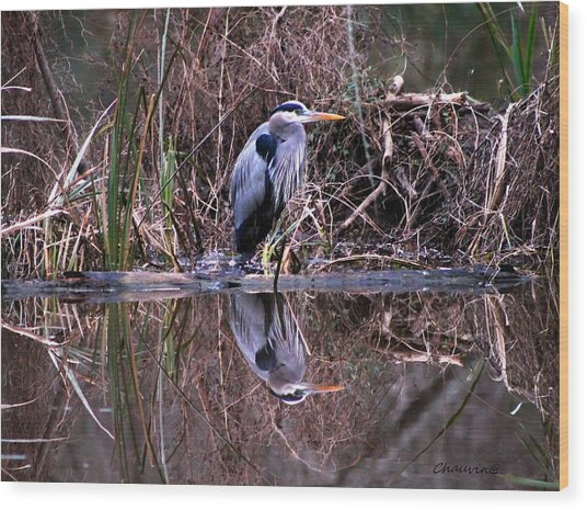 Great Blue Heron Reflecting Wood Print by Gene Chauvin