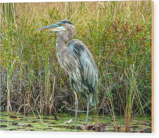 Great Blue Heron Waiting For Supper Wood Print