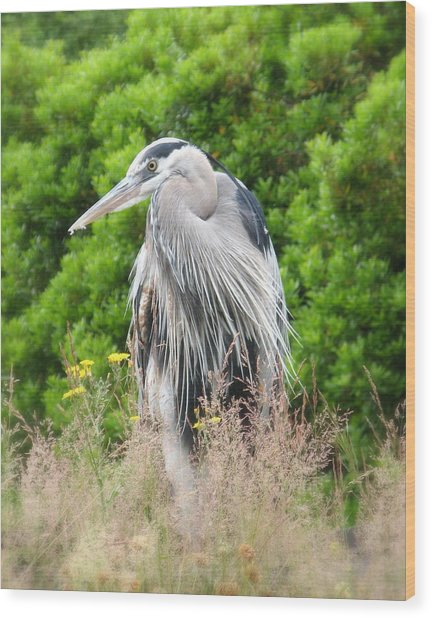 Great Blue Heron Watching And Waiting Wood Print