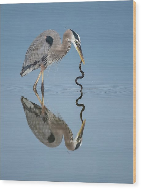 Great Blue Heron With Snake Wood Print