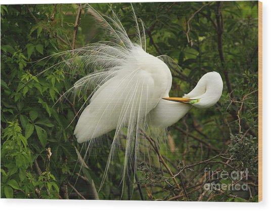 Great Egret Displaying Wood Print