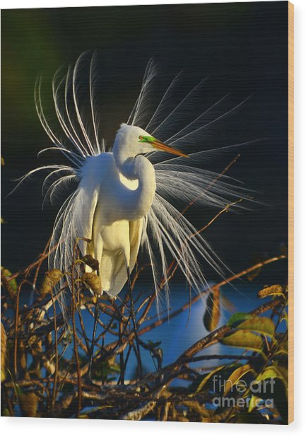 Great Egret With Breeding Plumage 1 Wood Print