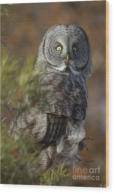 Wood Print featuring the photograph Great Gray Owl  14 by Katie LaSalle-Lowery