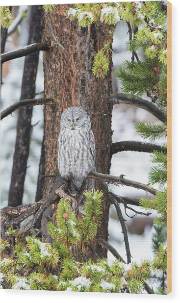 Great Gray Owl, In Snowstorm Wood Print