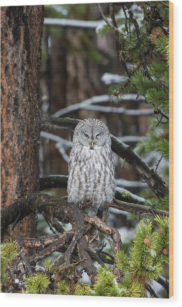 Great Gray Owl, Yellowstone National Wood Print