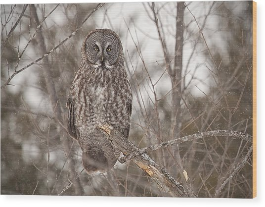 Great Grey Owl Wood Print