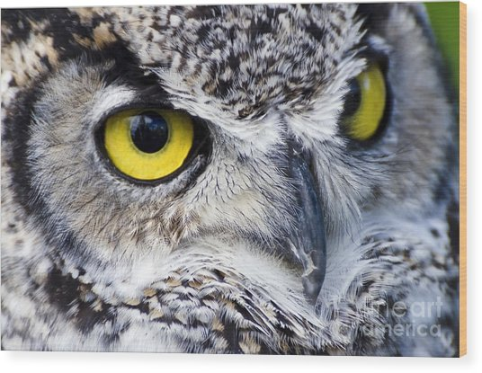 Great Horned Closeup Wood Print