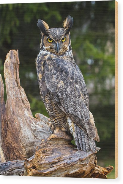 Great Horned Owl Wood Print by Craig Brown