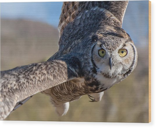 Great Horned Owl In Flight - Coming At-cha Wood Print