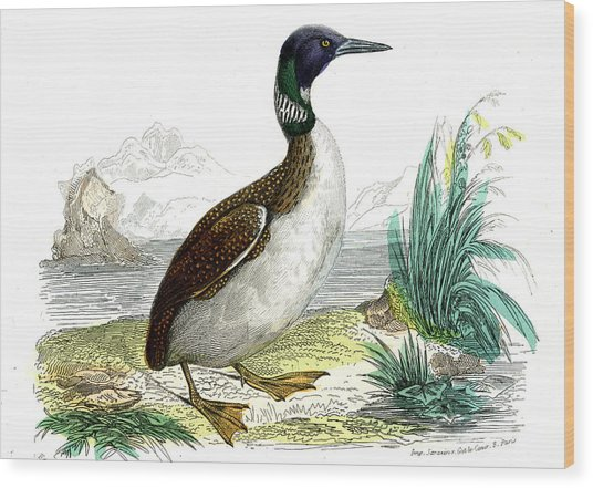 Great Northern Loon Wood Print