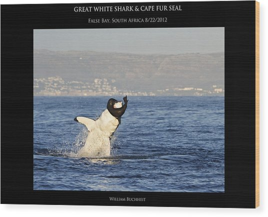 Great White And Seal Wood Print by William Buchheit