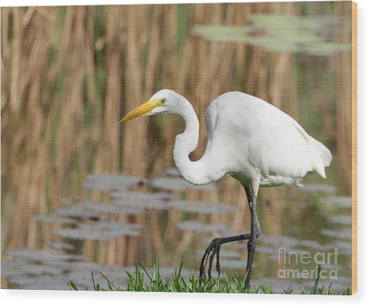 Great White Egret By The River Wood Print