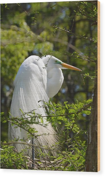Great White Egret On Nest Wood Print