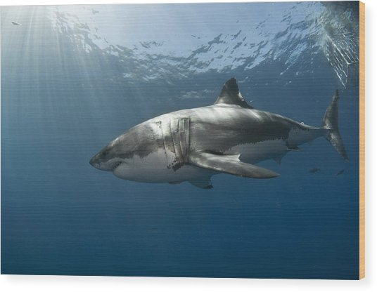 Great White Rays Wood Print by David Valencia